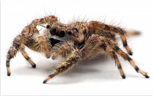 tarantula-spider