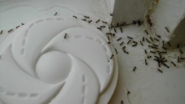 _ants_accessing_trap-