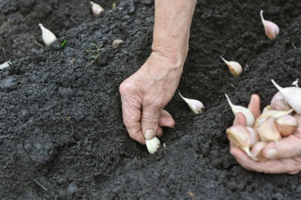 planting-garlic-teleflora