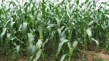 maize-production