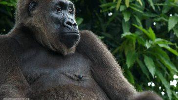 worlds-rearest-ape