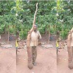 World's Largest Cassava Tuber